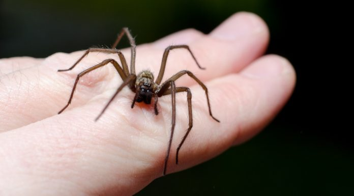 home remedies for spider bite