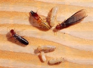 termites treatment at house