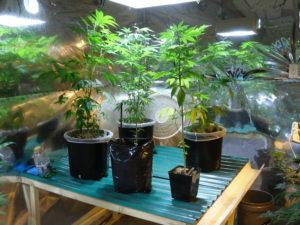 medical marijuana laws California