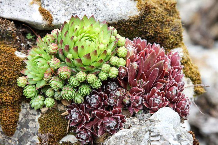 Best Plants for rock garden