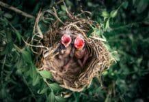 baby robin bird food